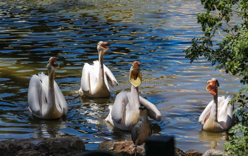 De hongerige pelikanen vragen om vissen in Israël royalty-vrije stock foto