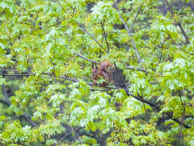 De hongerige pluizige eekhoorn in groen doorbladert stock foto