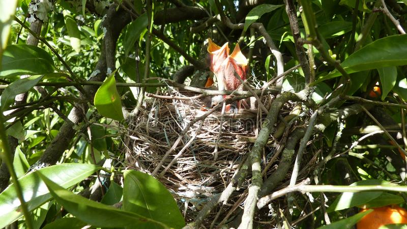 De hongerige Vogels van de Baby royalty-vrije stock afbeeldingen