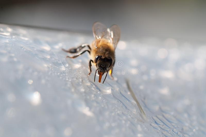De honingbij, drinkt water op witte oppervlakte royalty-vrije stock afbeeldingen