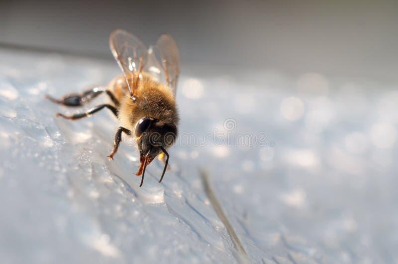 De honingbij, drinkt water op witte oppervlakte stock fotografie