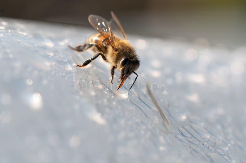 De honingbij, drinkt water op witte oppervlakte stock foto