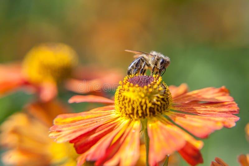 De honingbij met geel stuifmeel wordt behandeld drinkt nectar, bestuivend oranje bloem die Het leven van insecten Macro dichte om royalty-vrije stock afbeelding