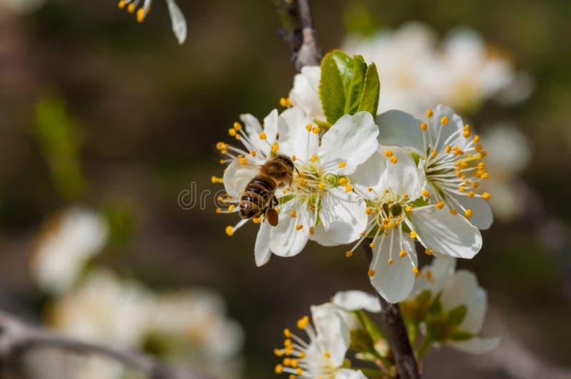 De honingbij op witte pruim bloeit macro royalty-vrije stock afbeeldingen