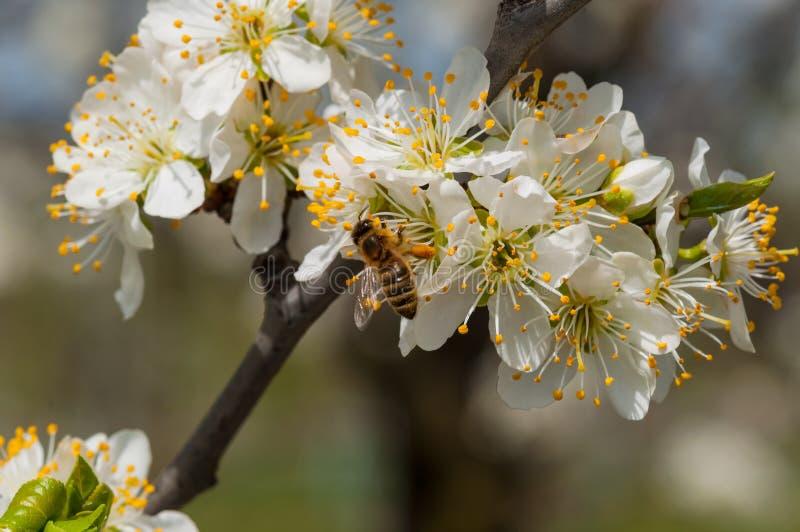De honingbij op witte pruim bloeit macro stock afbeeldingen