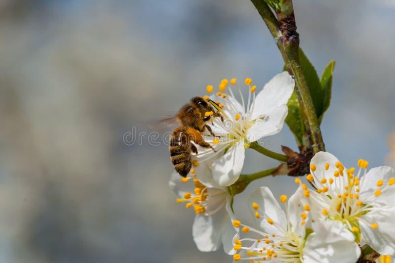 De honingbij op witte pruim bloeit macro stock fotografie
