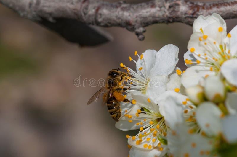 De honingbij op witte pruim bloeit macro royalty-vrije stock afbeelding