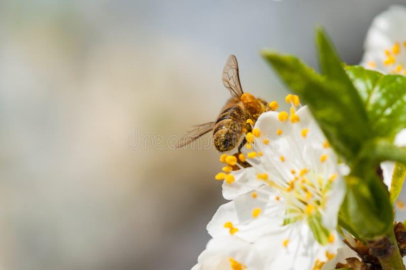 De honingbij op witte pruim bloeit macro royalty-vrije stock fotografie