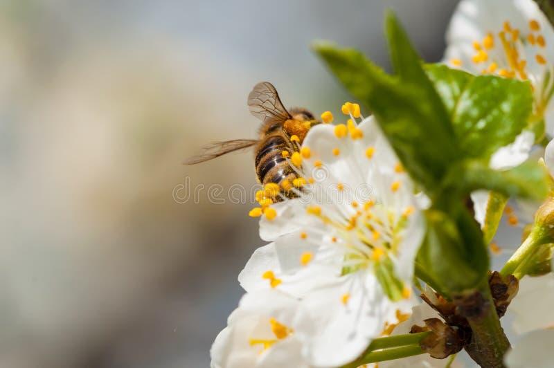 De honingbij op witte pruim bloeit macro royalty-vrije stock foto's