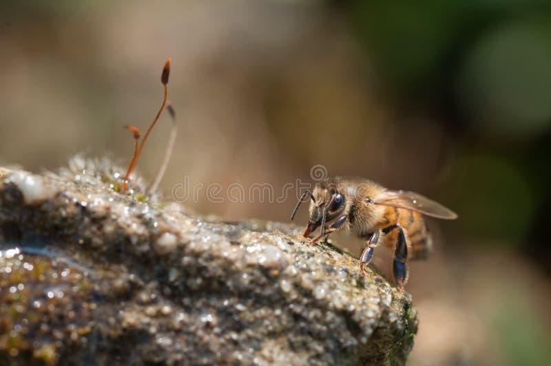 De honingbijen drinkt water royalty-vrije stock afbeeldingen