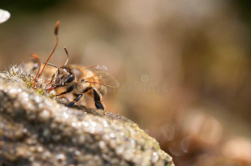 De honingbijen drinkt water royalty-vrije stock fotografie