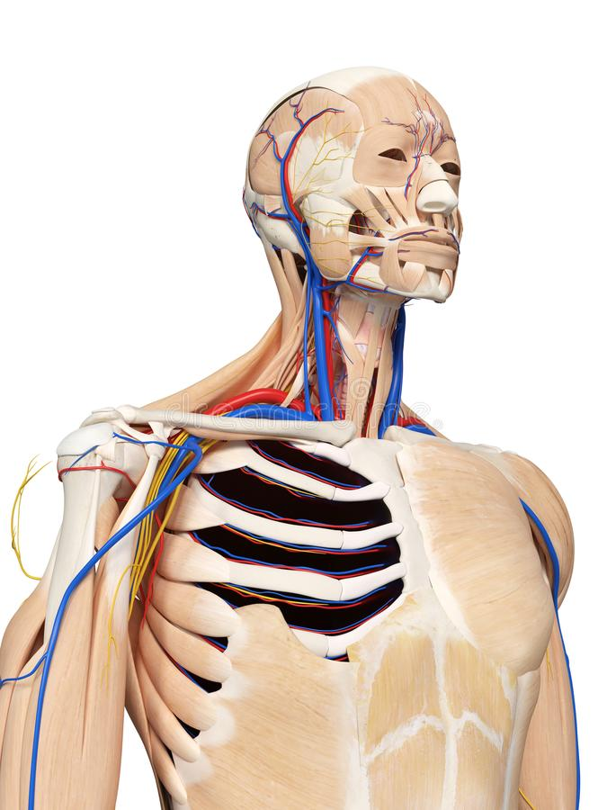 De hoofd en halsanatomie vector illustratie