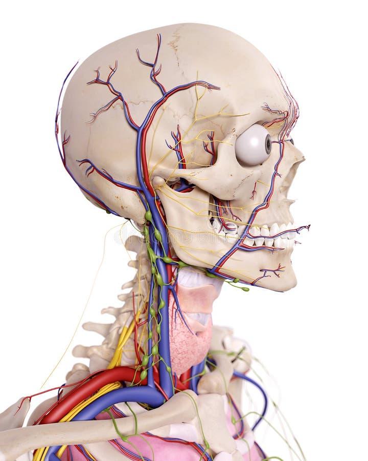 De hoofdanatomie stock illustratie