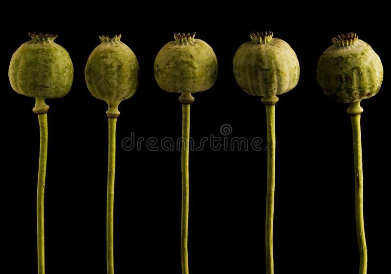 De hoofden van de papaver stock foto