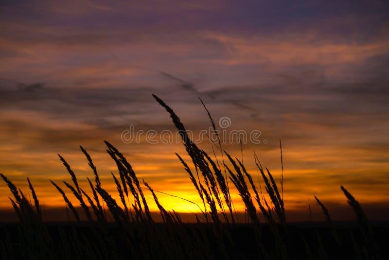 De hoofden van het graszaad bij dageraad worden gesilhouetteerd die royalty-vrije stock afbeelding