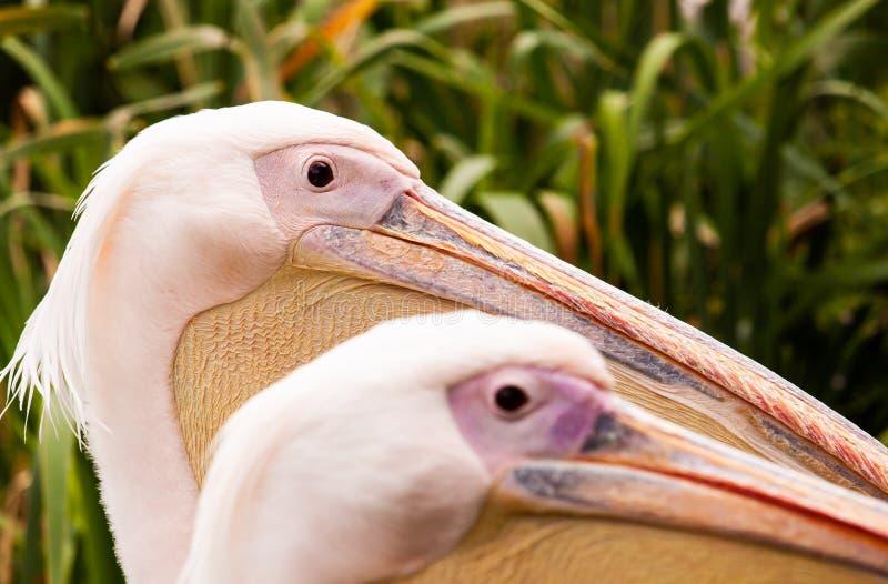 De hoofden van pelikaan twee royalty-vrije stock foto