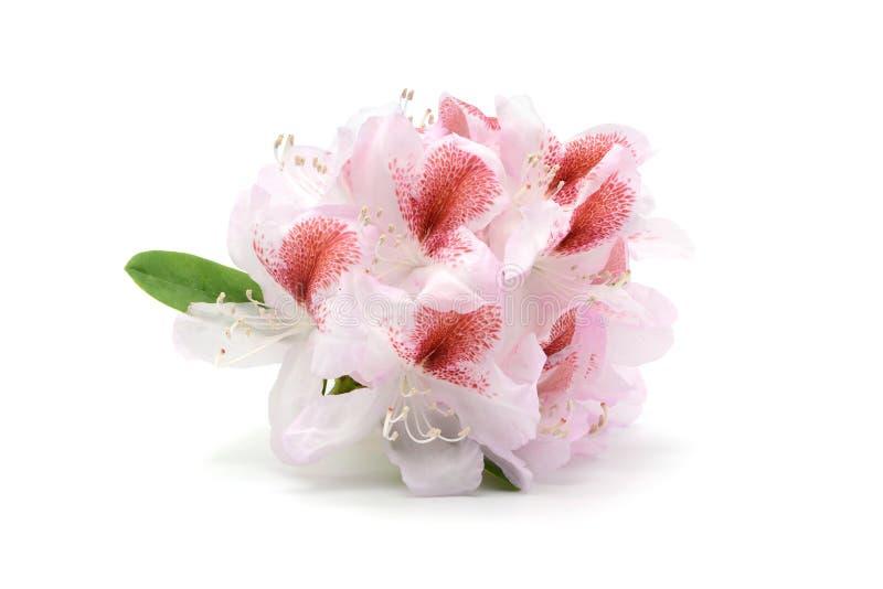 De hoofden van de rododendronbloem in rozerood op wit geïsoleerde backgrou stock fotografie
