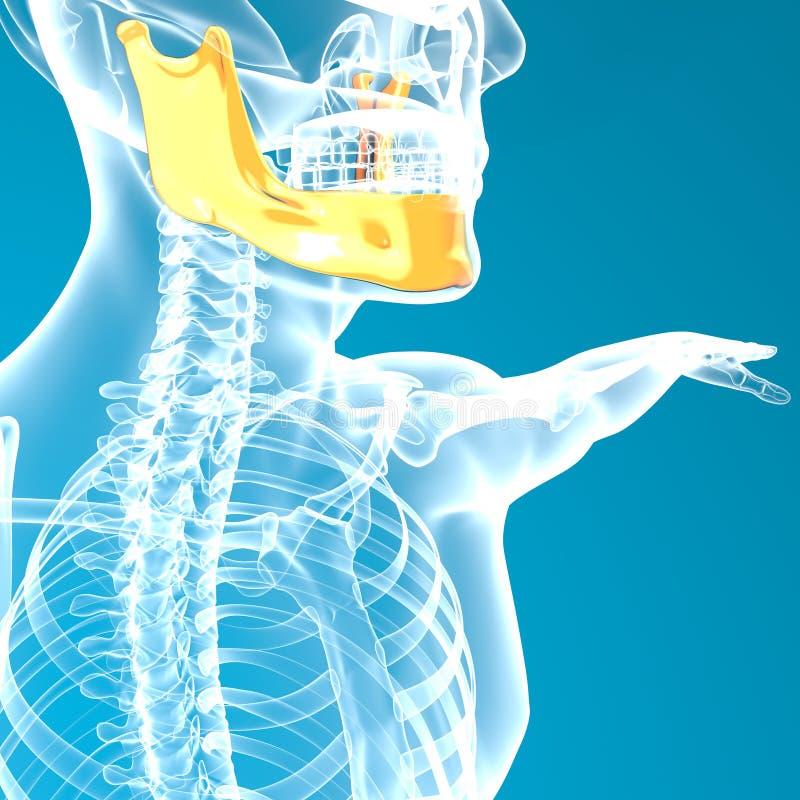 De hoofdröntgenstraal van het kaakbeen stock illustratie