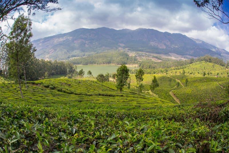 De hooglanden van de aanplantingsCameron van de thee stock foto's