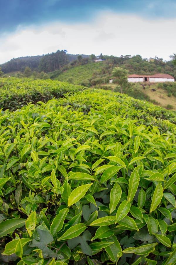 De hooglanden van de aanplantingsCameron van de thee royalty-vrije stock afbeelding
