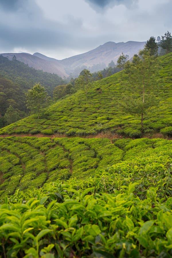 De hooglanden van de aanplantingsCameron van de thee royalty-vrije stock foto's