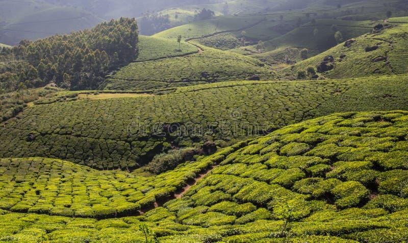 De hooglanden van de aanplantingsCameron van de thee royalty-vrije stock afbeeldingen