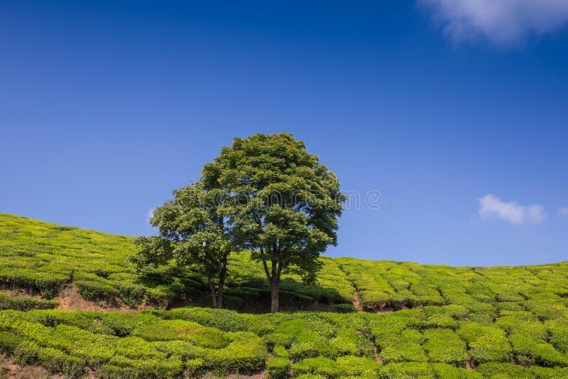 De hooglanden van de aanplantingsCameron van de thee stock foto