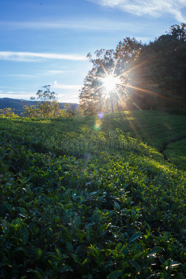 De hooglanden van de aanplantingsCameron van de thee stock afbeelding