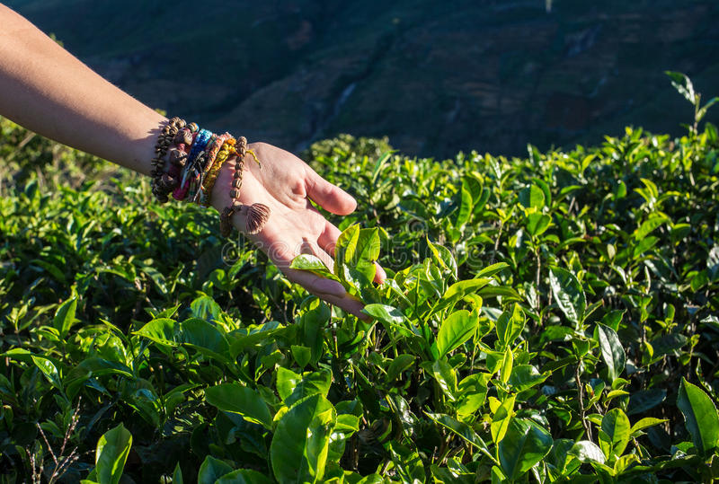 De hooglanden van de aanplantingsCameron van de thee stock fotografie