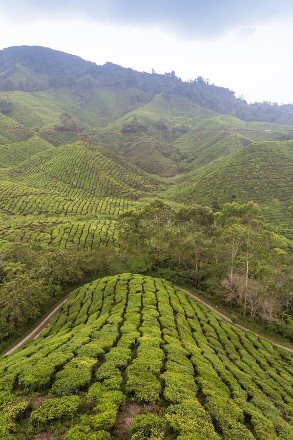 De hooglanden van de aanplantingsCameron van de thee, Maleisië royalty-vrije stock foto's