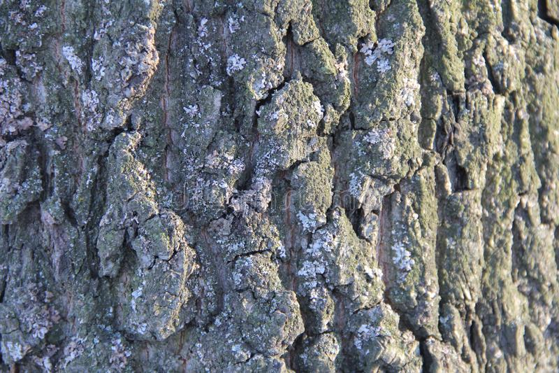 De hoogst gedetailleerde oude eiken textuur van de boomschors, groen mos Aard` s achtergrond royalty-vrije stock afbeeldingen