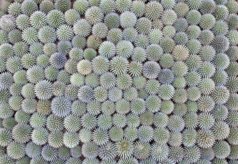 De hoogste mening van bal vormde vele cactussen royalty-vrije stock foto