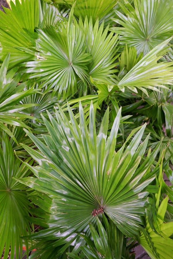 De hoogste mening van bladeren zag palmetto, Abstracte bladerentextuur royalty-vrije stock foto's