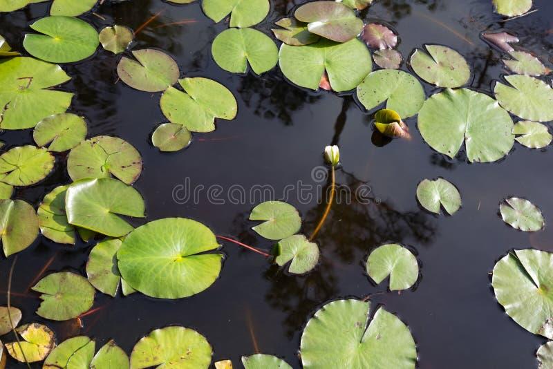 De hoogste mening van wit bloeit waterlily knop, bijna bloeiend in zwart water met groene leliestootkussens royalty-vrije stock afbeelding