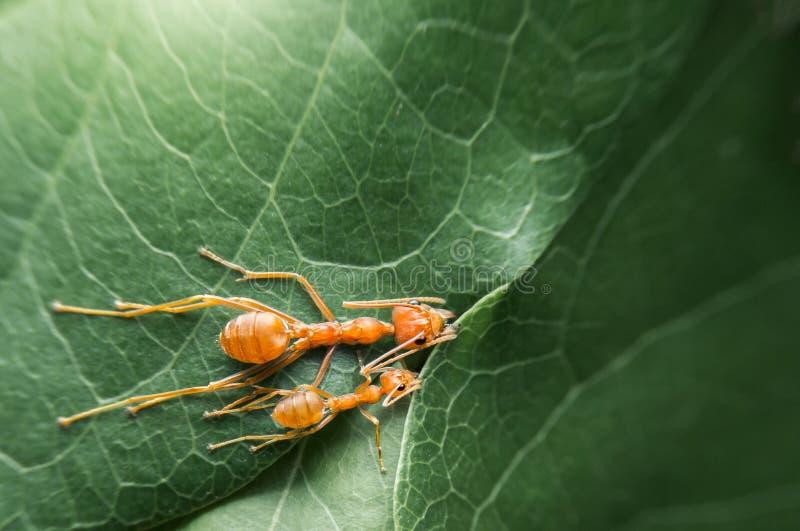 De hoogste van de het teamwerken van de menings selectieve nadruk rode mieren leiden tot hun nest door groen boomblad met aardach stock afbeelding
