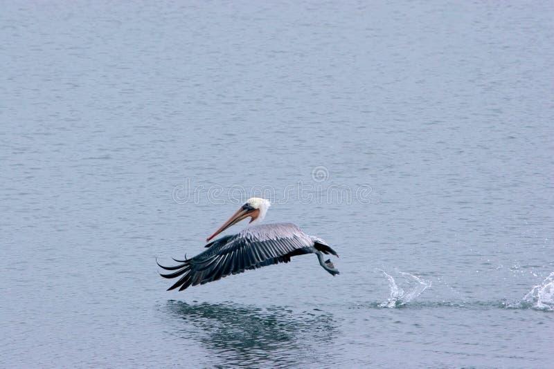 De hop van de pelikaan op het water stock afbeeldingen