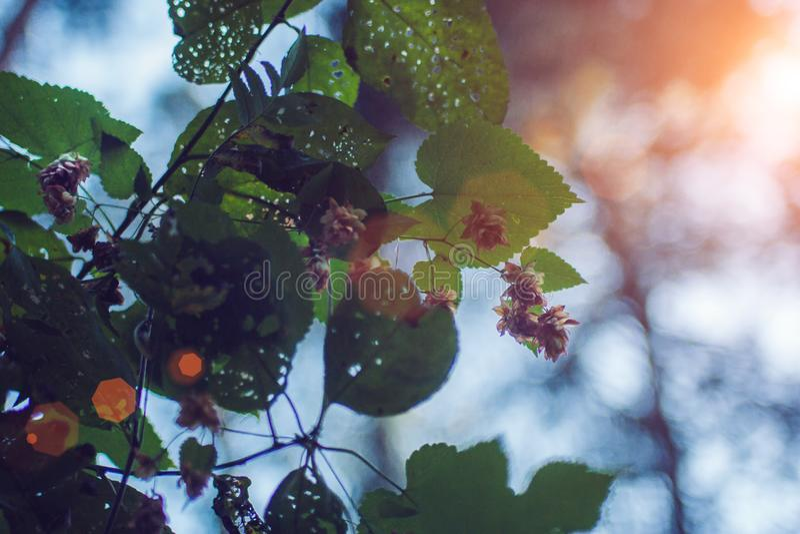 De de hopbloemen en bladeren sluiten omhoog op groene achtergrond Sluit omhoog van minimalistische verse hop bloemen voor bier royalty-vrije stock foto's