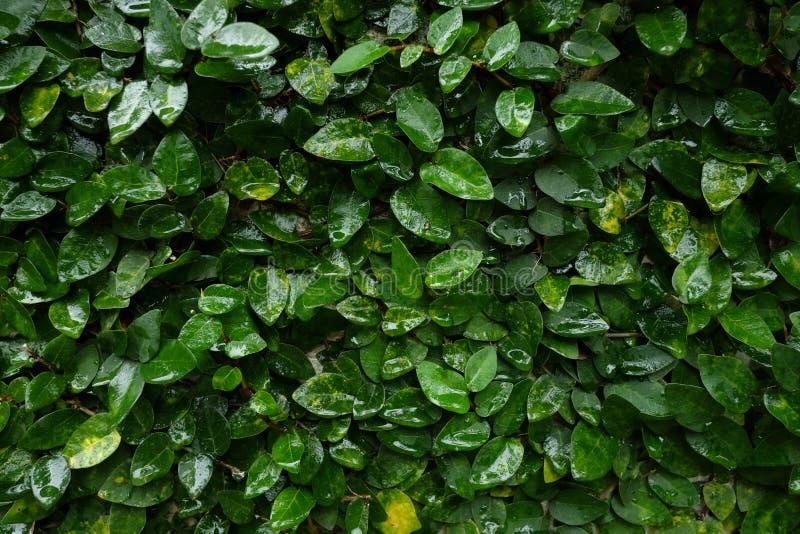 De horizontale achtergrond van de fig.wijnstok van de close-upwaaier waterige kruipende royalty-vrije stock foto