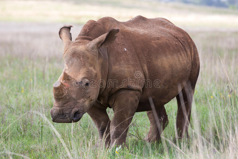 De-horned White Rhino. South Africa royalty free stock photography