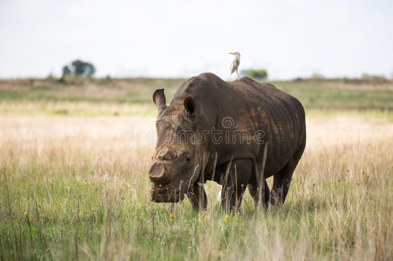 De-horned White Rhino. South Africa royalty free stock images