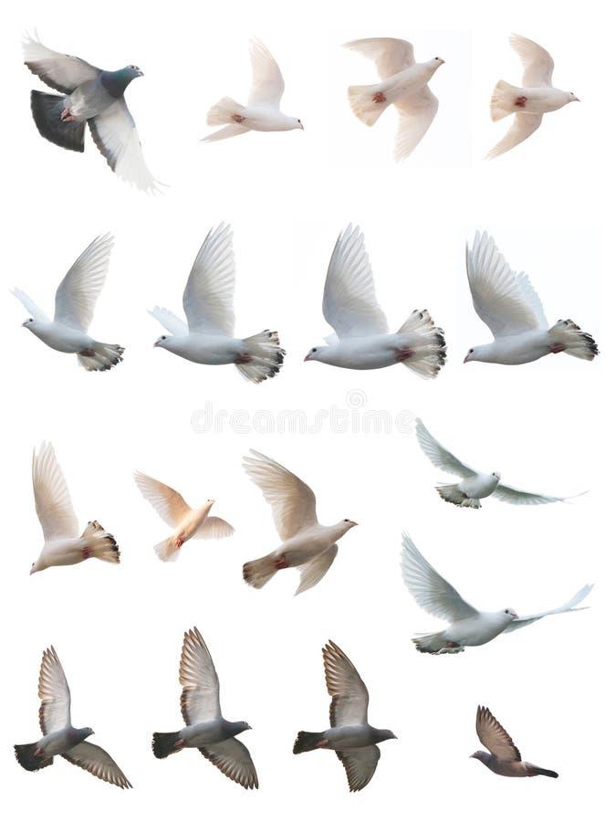 De houding van duifvlucht royalty-vrije stock afbeeldingen