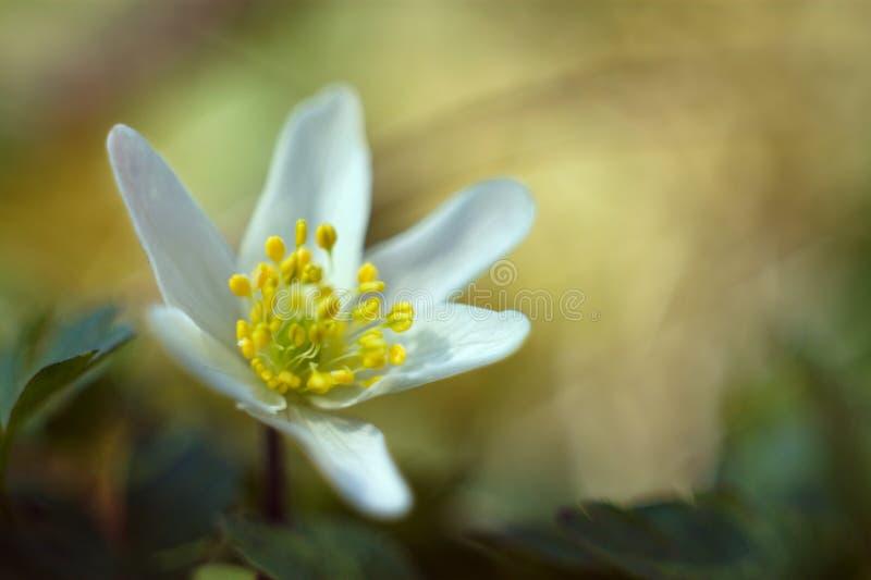 De houten Anemoon bloeit dichte up/macro stock fotografie
