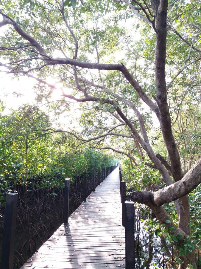 De houten brug in het mangrovebos stock foto's