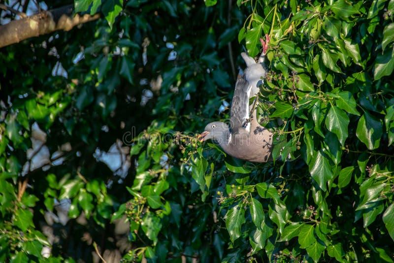 De houten hangende bovenkant van duifcolumba livia - onderaan het eten van de winterbessen van altijdgroene boom royalty-vrije stock foto's