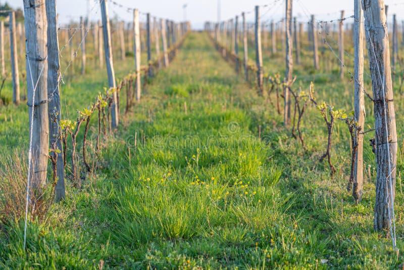 De houten polen met uitgerekte metaaldraad steunen de wijngaard in zonnige dag Wijngaardenlandbouw in de lente Zachte nadruk royalty-vrije stock foto's