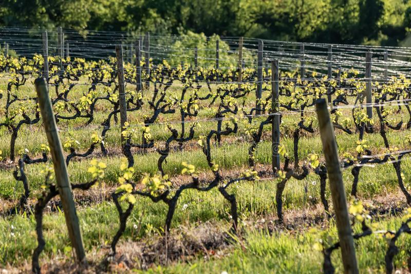 De houten polen met uitgerekte metaaldraad steunen de wijngaard in zonnige dag Wijngaardenlandbouw in de lente Zachte nadruk stock foto