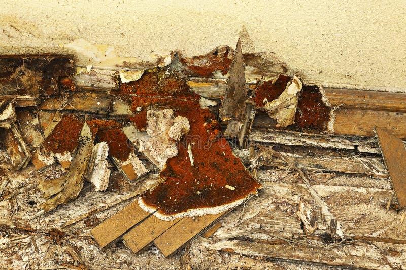 De houten vloer rotte door droogrot stock afbeeldingen