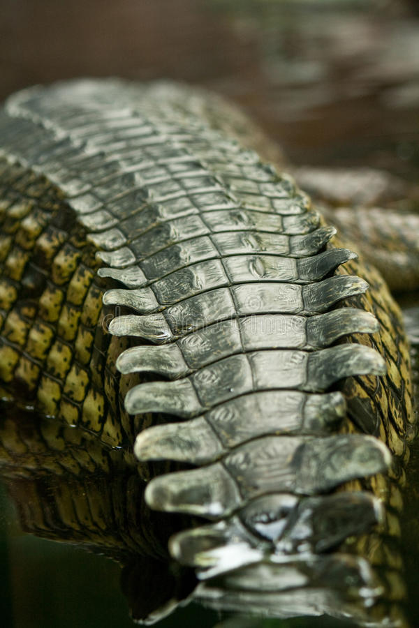 De huid van de krokodil royalty-vrije stock afbeelding