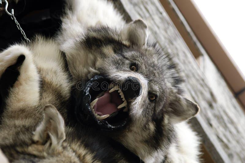 De huid van de wolf royalty-vrije stock afbeelding