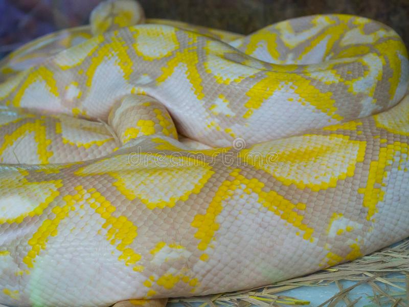 De huid van de Dichte omhooggaande constrictor van de albinoboa slang met gele kleur stock foto's